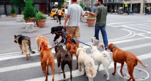 Выгуливают собак за деньги