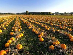 Выращивание тыквы на семена как бизнес